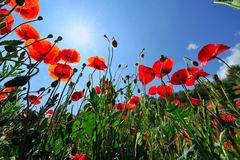 Red poppy flowers in bloom. Low angle view of red poppy flowers blooming in field with blue sky background Royalty Free Stock Image