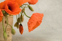 Red poppy flowers in bloom Stock Images