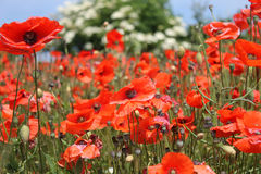 Red poppy flowers in bloom Stock Photography