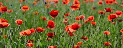 Red spring poppy royalty free stock photography