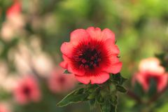 Red poppy flowers blooming in the green grass field, floral natural spring background stock images