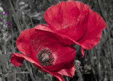 Pretty Red Poppy Flowers Stock Photo