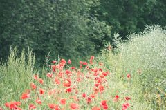 red poppy flowers and blossoms in spring - vintage look