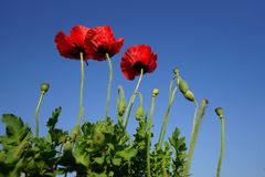 Red poppy flowers blue sky Stock Photo