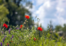 Red poppy flowers blurred background blue sky green grass Stock Photos