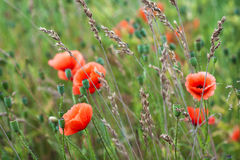 Red poppy flowers blurred background blue sky green grass Stock Photography