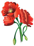 Red Poppy Flowers Royalty Free Stock Image