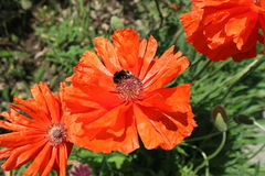Red poppy flowers with bumblebee in a sunny day Stock Photography