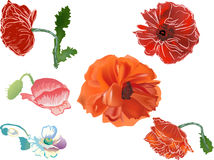 Red poppy flowers collection isolated on white Royalty Free Stock Photography