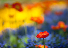 Red poppy flowers in colorful flower field Royalty Free Stock Images