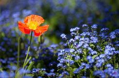 Red poppy flowers in colorful flower field Royalty Free Stock Photography