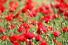 Red poppy flowers in field Royalty Free Stock Image