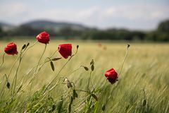 Red poppy flowers in a field on a background of green ears and blue sky royalty free stock photos