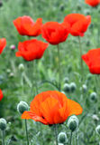Red poppy flowers in field Royalty Free Stock Photos