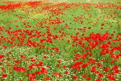 Red poppy flowers field blooming in spring Royalty Free Stock Photography