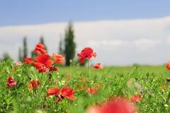 Red poppy flowers field Royalty Free Stock Photo