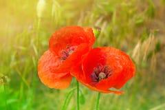 Red poppy flowers field, close up. Poppy on green weeds field. Poppy flowers.Close up poppy head. red poppy Stock Photo