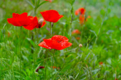 Red poppy flowers field, close up. Red poppy on green weeds field. Poppy flowers.Close up poppy head. red poppy.Red poppy flowers field Stock Photo