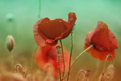 Red poppy flowers field close up. Red poppy on green weeds field royalty free stock photos