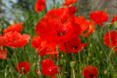 Red poppy flowers field. close up Royalty Free Stock Photo