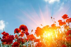 Red Poppy Flowers Field  Looking Up Towards Sky And Sun Beams. Spring Nature Background. Soft Focus Stock Photography
