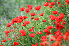 Red poppy flowers in field Royalty Free Stock Photography