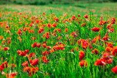 Red poppy flowers   in field Stock Image