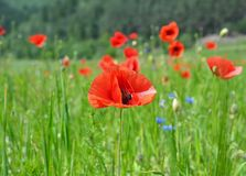 Red poppy flowers field Stock Photos