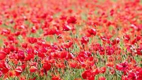 Red poppy flowers field stock footage