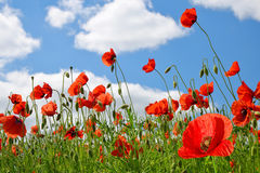 Red poppy flowers in a field Royalty Free Stock Images