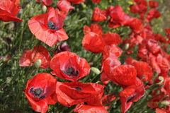 Red poppy. Flowers field in the spring time Royalty Free Stock Photography