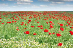Red poppy flowers field Stock Images