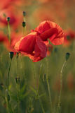 Red Poppy Flowers Royalty Free Stock Images