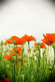 Red poppy flowers in a field, vintage. View of a field of poppy flowers, blurred background, portrait cut Stock Photography