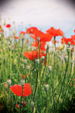 Red poppy flowers in a field, vintage. View of a field of poppy flowers, blurred background, portrait cut Royalty Free Stock Images