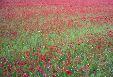 Red poppy Flowers fild in June Royalty Free Stock Photo