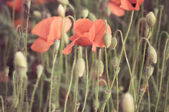 Red poppy flowers Royalty Free Stock Photos