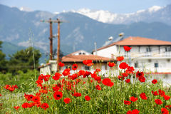 Red poppy flowers at the foot of Olympus Mountain Stock Photos