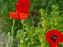 Red poppy flowers in a green garden stock image