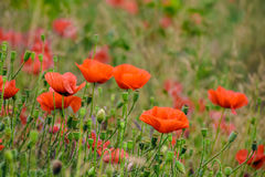 Red poppy flowers among the grass. Closeup of big poppy flowers on blurred background of green meadow Stock Images