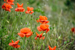 Red poppy flowers among the grass. Closeup of big poppy flowers on blurred background of green meadow Stock Photos