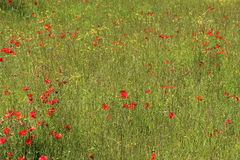 Red Poppy Flowers and Grass Field. Found in Italy Stock Images