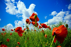 Red poppy flowers on green field. Close-up on red poppies in beautiful green field Royalty Free Stock Image