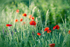 Red poppy flowers in green grass Royalty Free Stock Photos