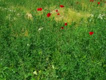 Red poppy flowers in a green meadow. Background Stock Photography