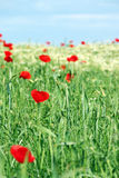 Red poppy flowers and green wheat Stock Images