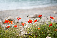 Red poppy flowers growing on beach. With blurred shore and sea on background Stock Photo