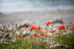Red poppy flowers growing on beach Royalty Free Stock Photos