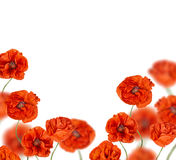 Red poppy flowers half frame Stock Photos