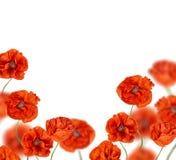 Red poppy flowers half frame Stock Photos